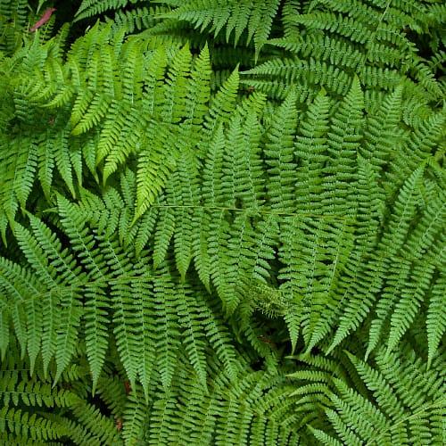 Leaflets of fern plants
