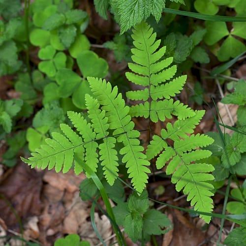 Leaflets of the northern oak fern