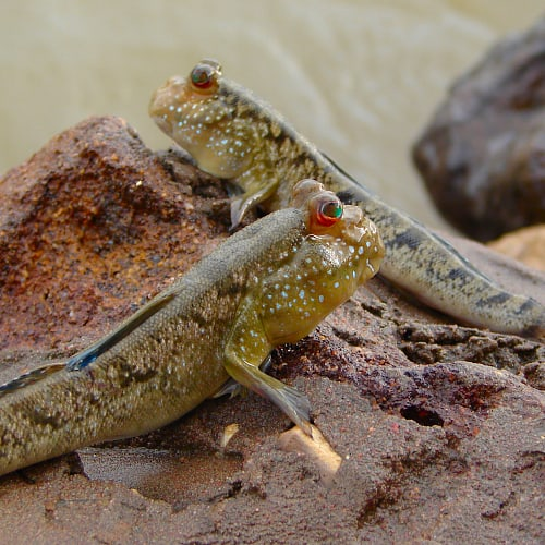 Atlantic mudskippers by the shore