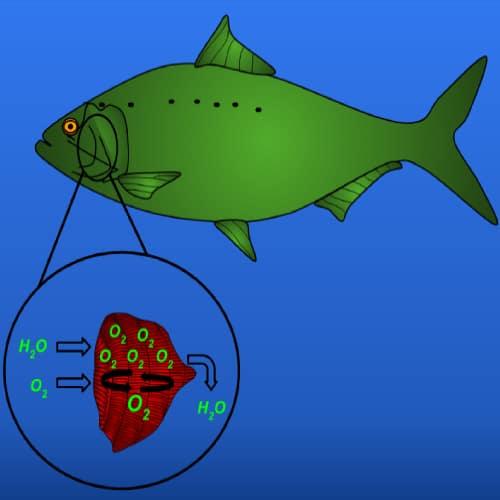 Diagram of how fish breathe through their gills