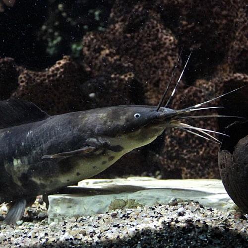 Clarias batrachus in an aquarium