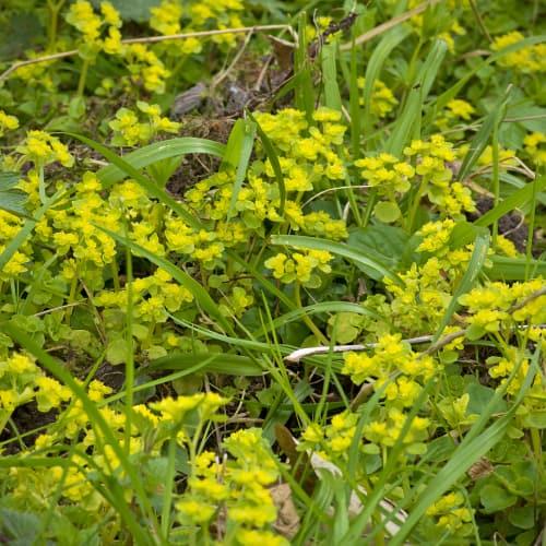 Golden saxifrage in wet woodland
