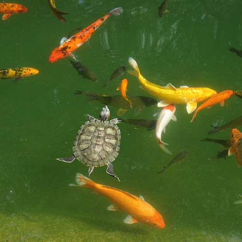 Goldfish in a pond with carp, koi, and a turtle