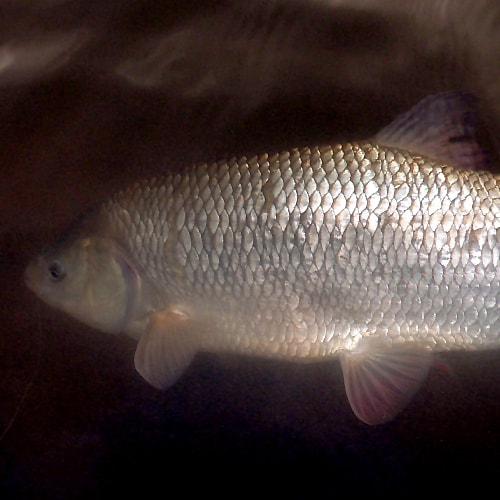 Orfe fish underwater
