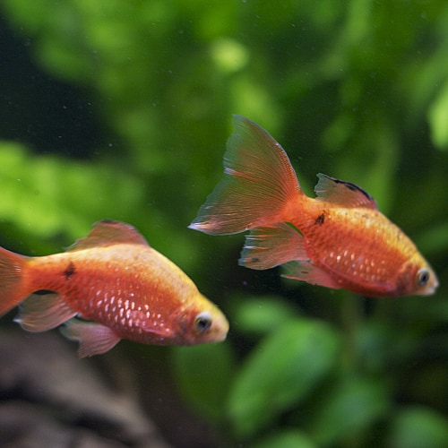 Rosy barbs swimming together underwater