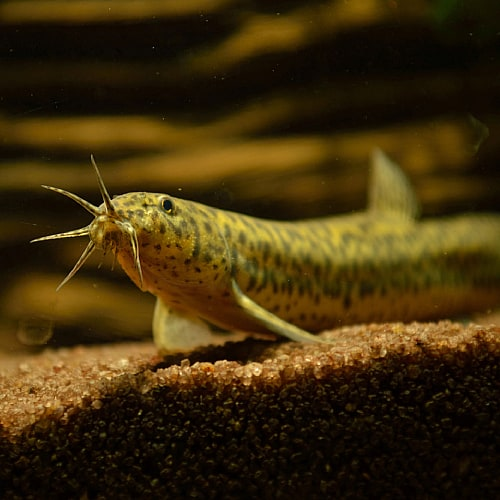 Weather loach at the bottom of a fish tank