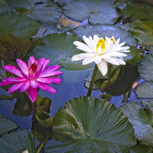 Water lilies protruding out of the water