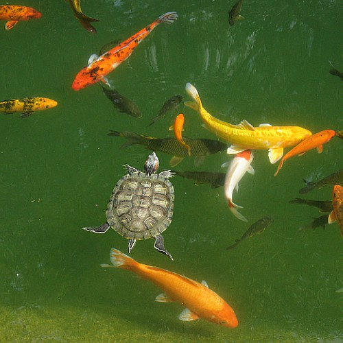 Goldfish, koi, carp and a turtle in an outdoor pond
