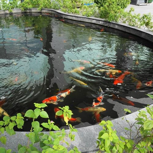 A koi pond with multiple koi fish