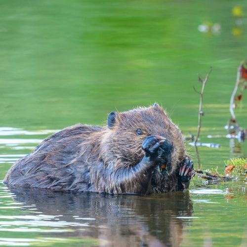 Beaver in a body of water