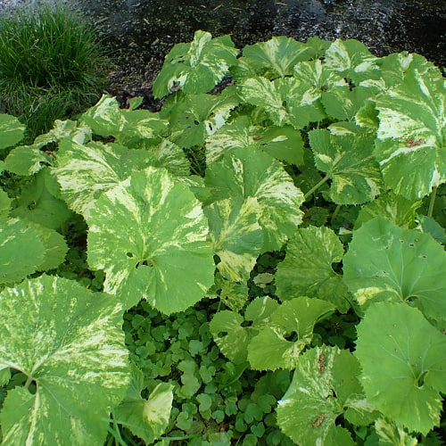 The large leaves of the butterbur plant