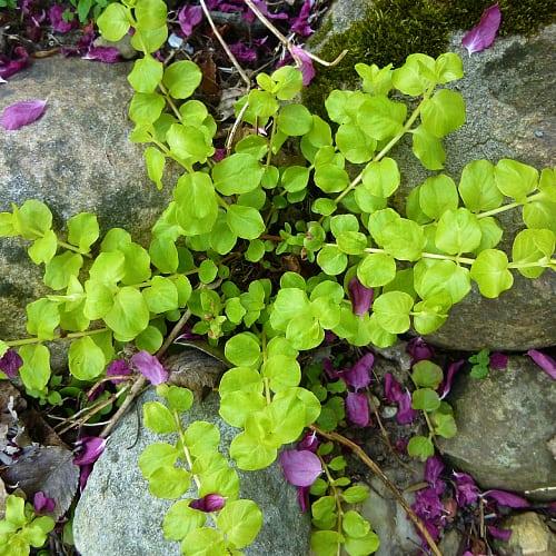 Golden creeping jenny plant in between rocks
