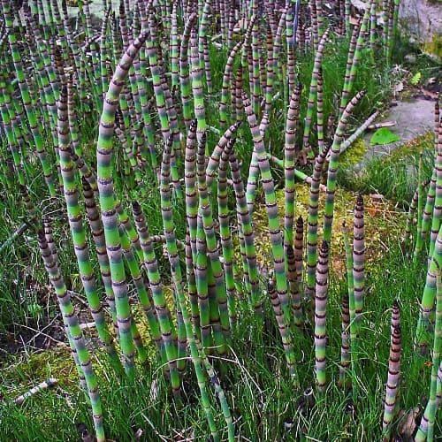 Horsetail plants in a botanical garden