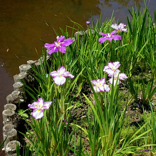 Japanese water iris in bloom next to a pond