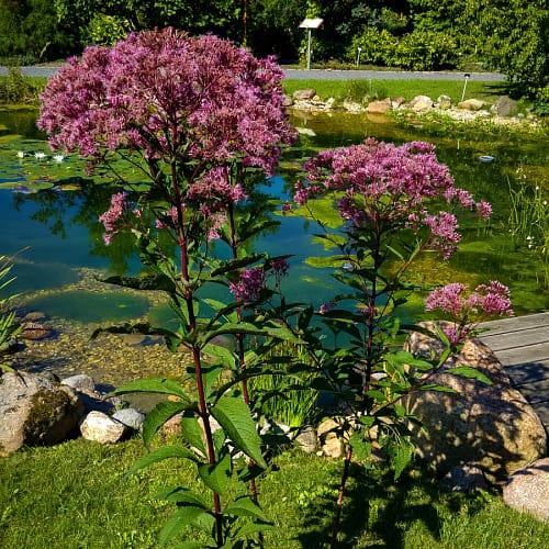 Joe-Pye weed plant next to a pond