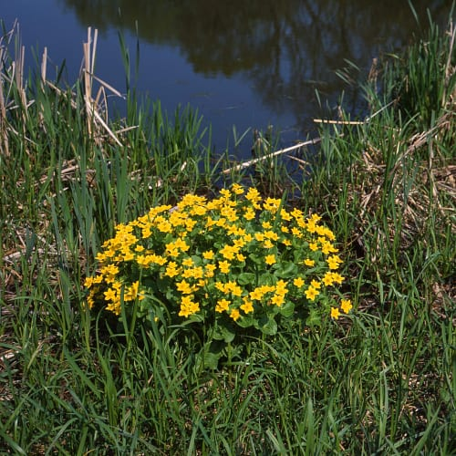 Marsh marigold plant by the edge of a pond
