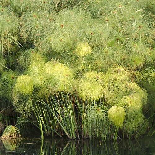 Papyrus plants at the edge of a pond