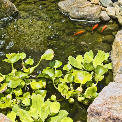 Plants at the edge of a pond with goldfish