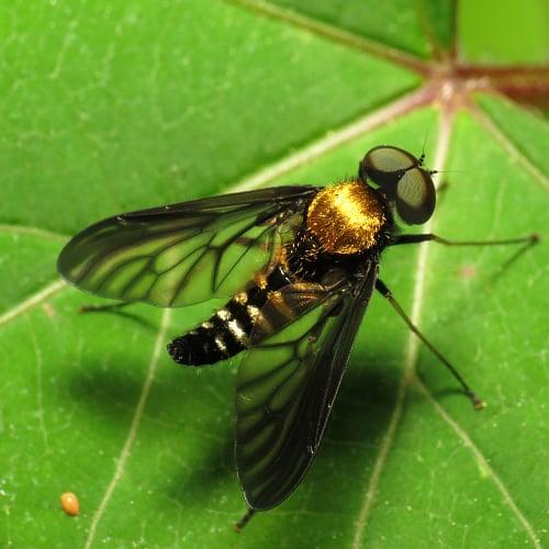 Golden-backed snipe fly on a leaf