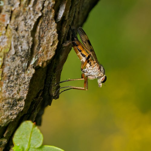 Snipe fly on a tree, displaying its 'downlooker' behavior