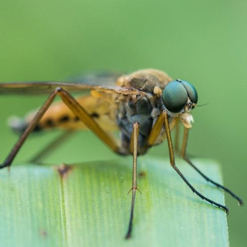 Snipe fly on a leaf