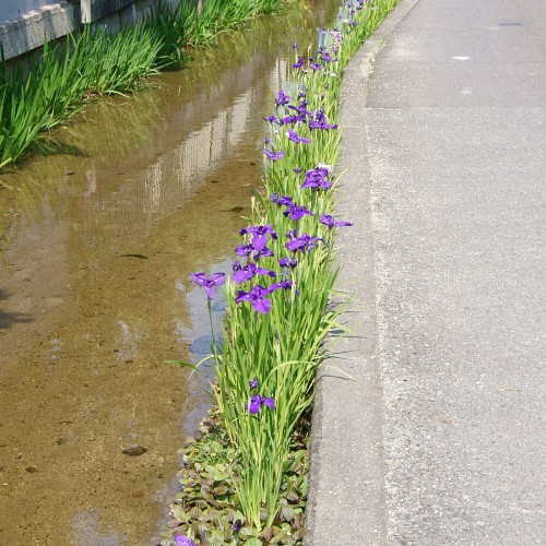Japanese water iris plants along a river