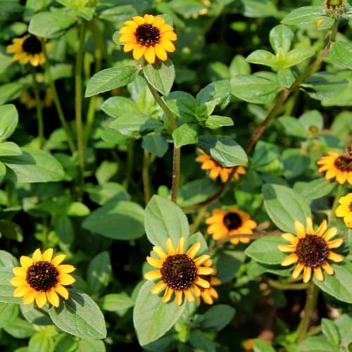 Creeping zinnia plants in bloom with yellow flowers