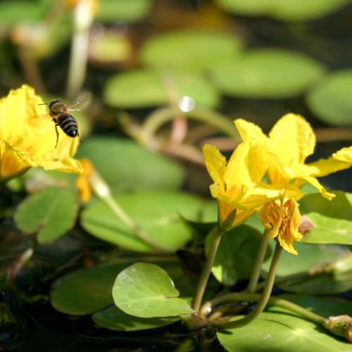 A bee flying towards a yellow floating heart flower