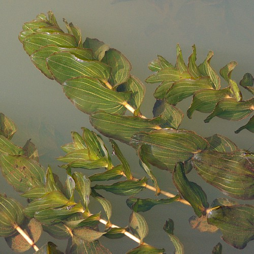 Clasping-leaf pondweed in a canal