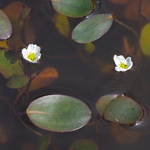 Floating water plantain flowering
