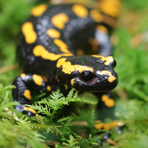 Fire salamander in nature