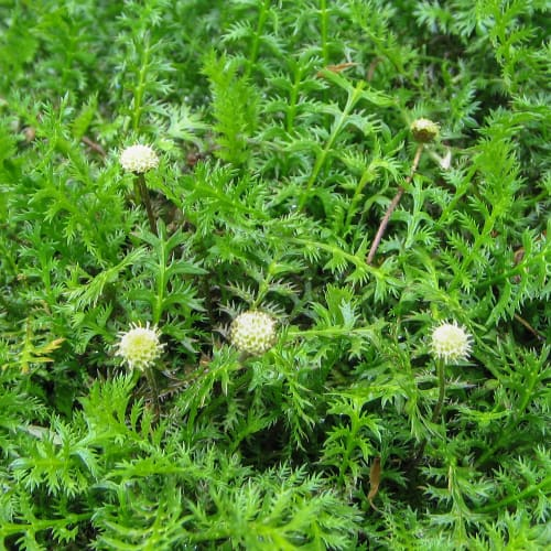 Leptinella squalida in bloom