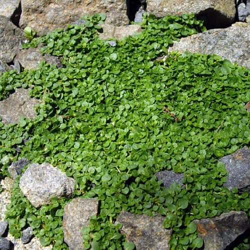 Corsican mint growing over rocks