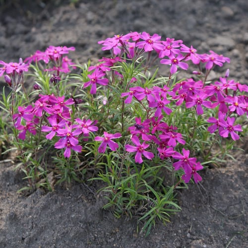 Creeping phlox with pink flowers