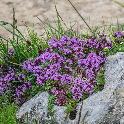Elfin thyme growing by a rock