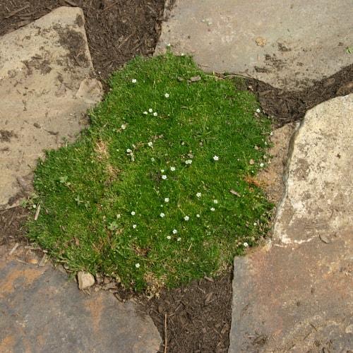 Irish moss growing in between stones