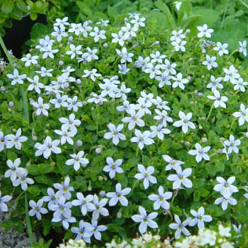 Star creeper in bloom with white flowers