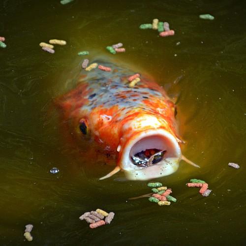 Koi fish eating fish food