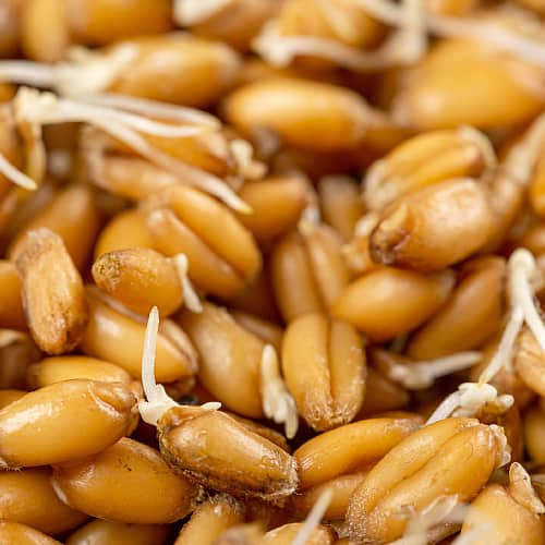 Closeup of wheat germ