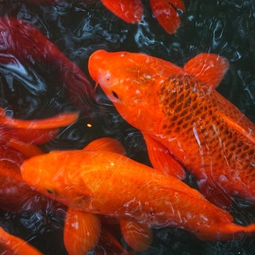 Orange koi underwater