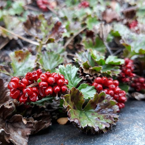 Bright red berries of the baby gunnera plant