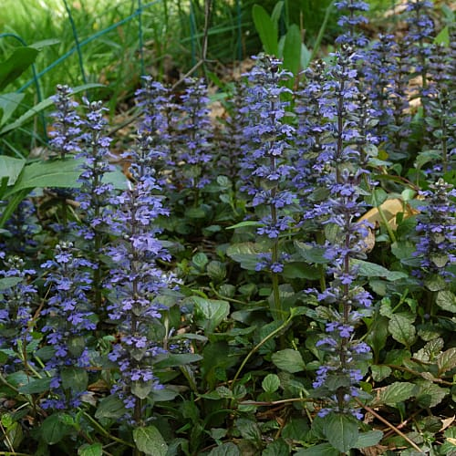 A spreading mat of bugleweed