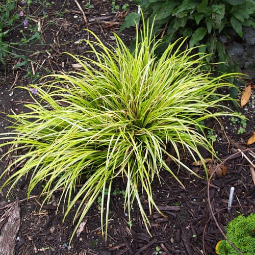 Japanese rush plant in soil