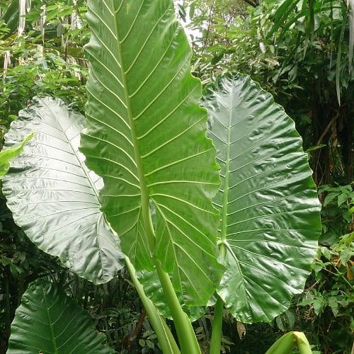 Leaves of the elephant ears plant