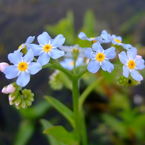 Water forget-me-not with blue flowers