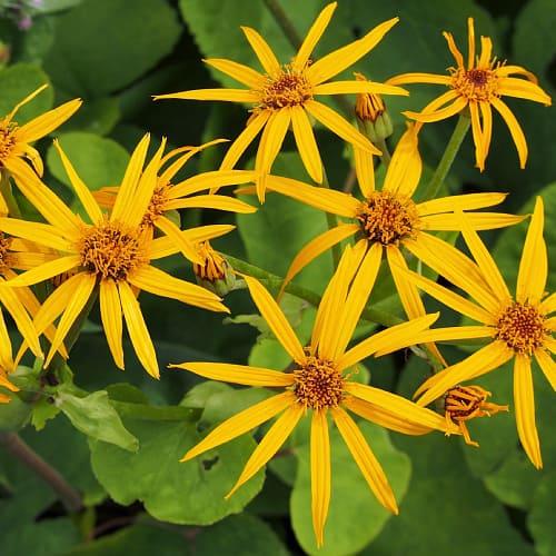 Ligularia dentata cultivar in bloom