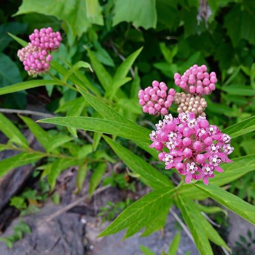 Swamp milkweed plant with pink flowers