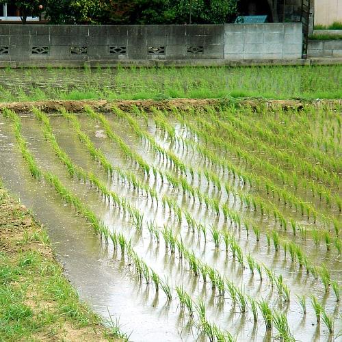 Rice paddies in Japan