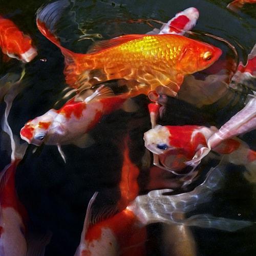 Koi fish underwater