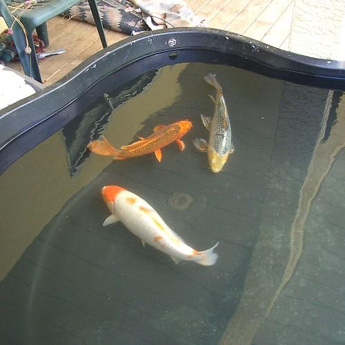Three koi fish underwater
